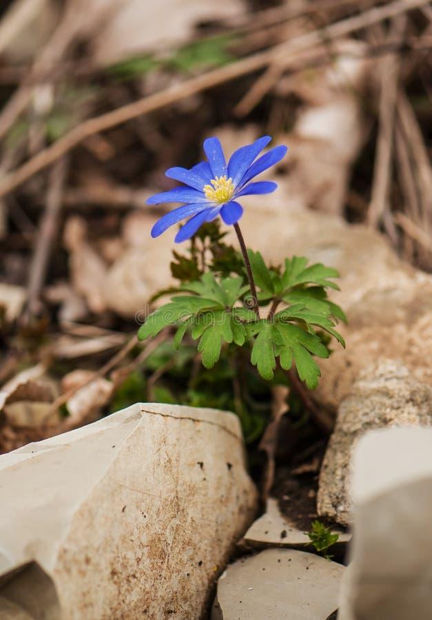 Anemone blanda Blüte stockfoto