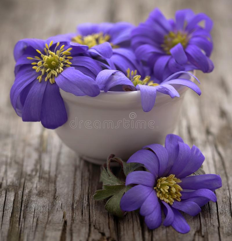 Anemone Blanda Blue arkivfoton