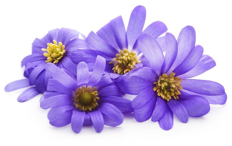 Anemone Blanda Blue Shades immagine stock libera da diritti