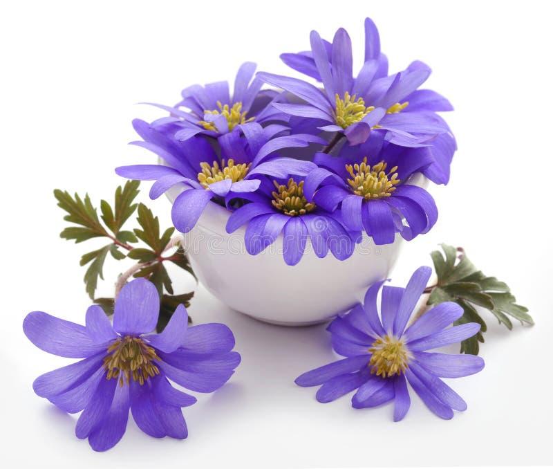 Anemone Blanda Blue Shades immagini stock
