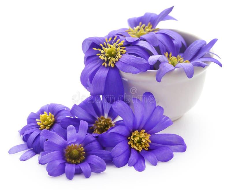 Anemone Blanda Blue Shades fotografie stock