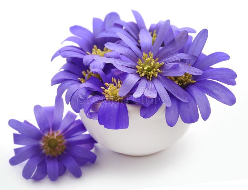 Anemone Blanda Blue Shades fotografia stock
