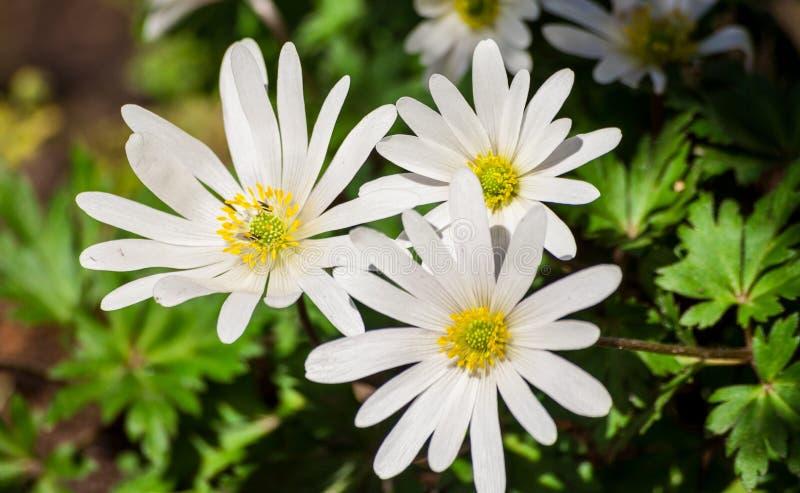 Anemone blanda weiße Pracht, weiße Blumen lizenzfreies stockbild