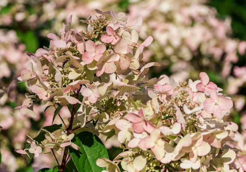 Anemone blanda weiße Pracht, eine Gruppe weiße Blumen lizenzfreies stockfoto