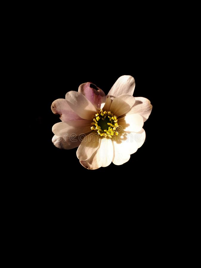 Anemone Blanda White Splendour op Zwarte stock foto