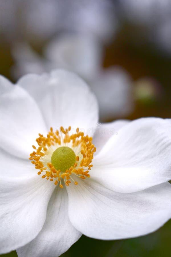 Anemone Blossom royalty free stock photo