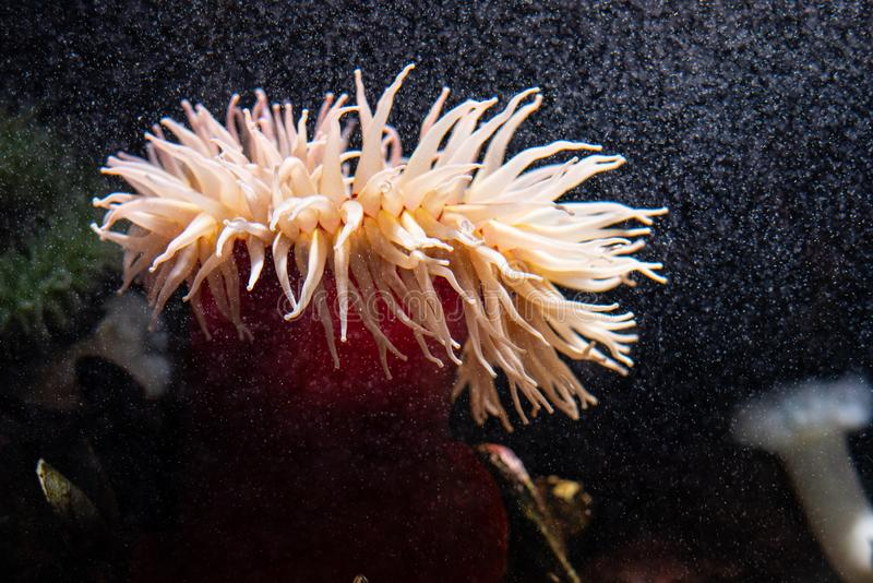 Anemone at the bottom of the sea. Velvety red anemone (Urticina piscivora) aka fish-eating anemone royalty free stock photography