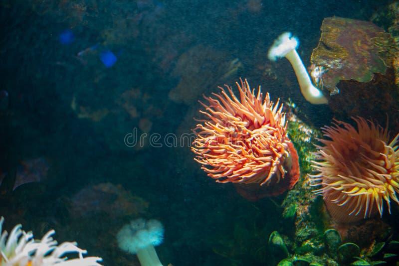 Anemone at the bottom of the sea. Velvety red anemone (Urticina piscivora) aka fish-eating anemone stock photography