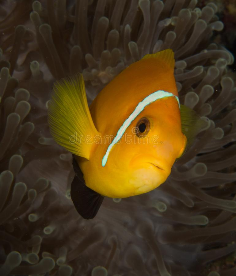 Anemone with clownfish. An orange clownfish anemone fish comes to look at the camera in front of a dark anemone to defend its territory stock image