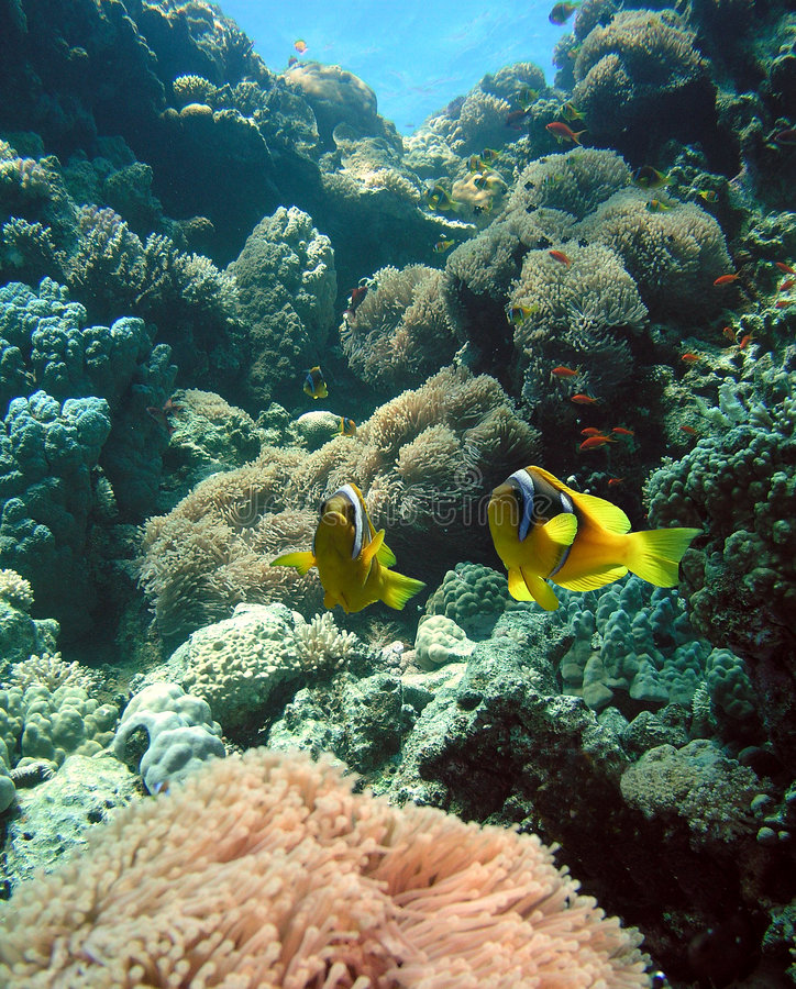 Anemone colony. Anemone and Damsel fish, Red sea stock images