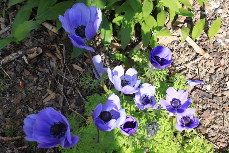 Anemone Coronaria στη βιολέτα - πρώτα λουλούδια άνοιξη στοκ εικόνες
