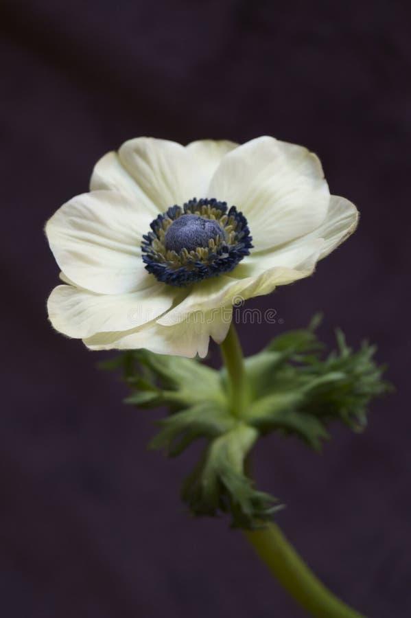 Free Anemone Coronaria Poppy Anemone Stock Photo - 139652280
