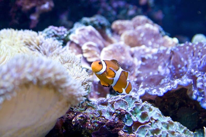 Anemone de mar e clownfish imagens de stock