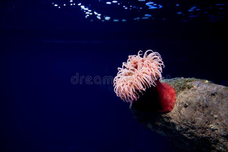 Anemone des Roten Meers, Actinaria, oceanario De Lissabon, Lissabon lizenzfreie stockbilder