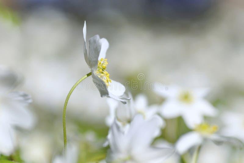 Anemone di legno bianco fotografia stock