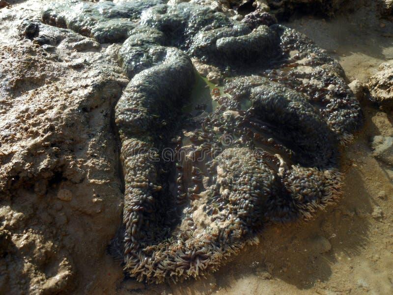 Anemone di mare in natura fotografia stock