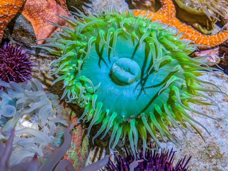 Anemone di mare verde gigante immagine stock