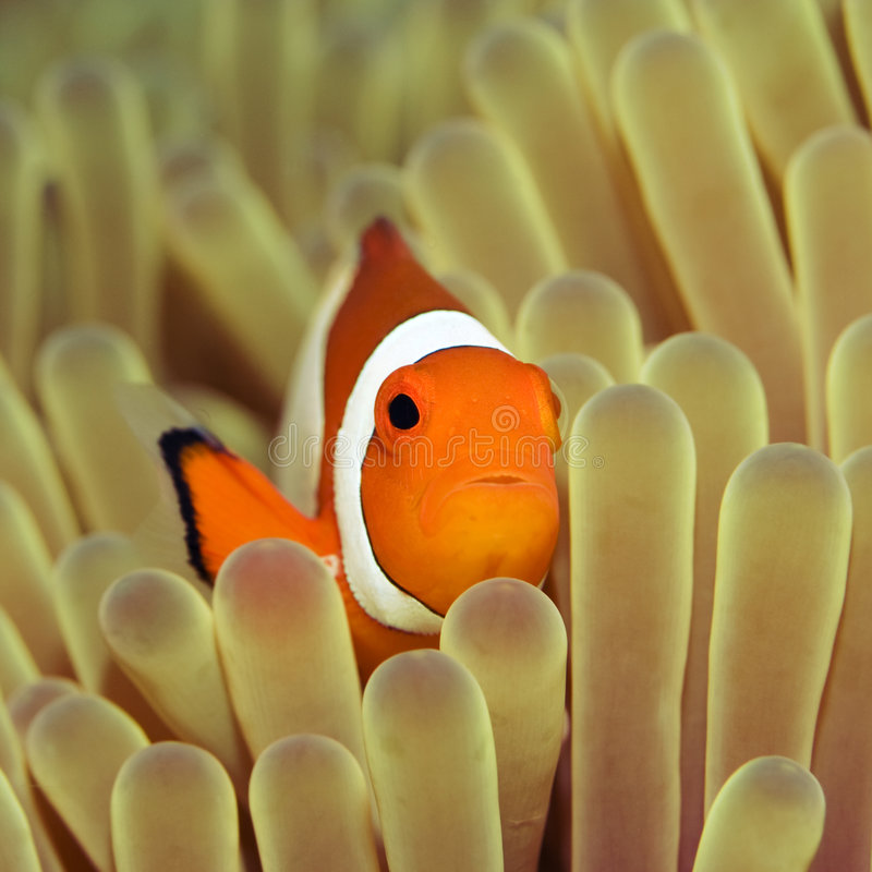 Anemone e Clownfish. fotografia de stock royalty free