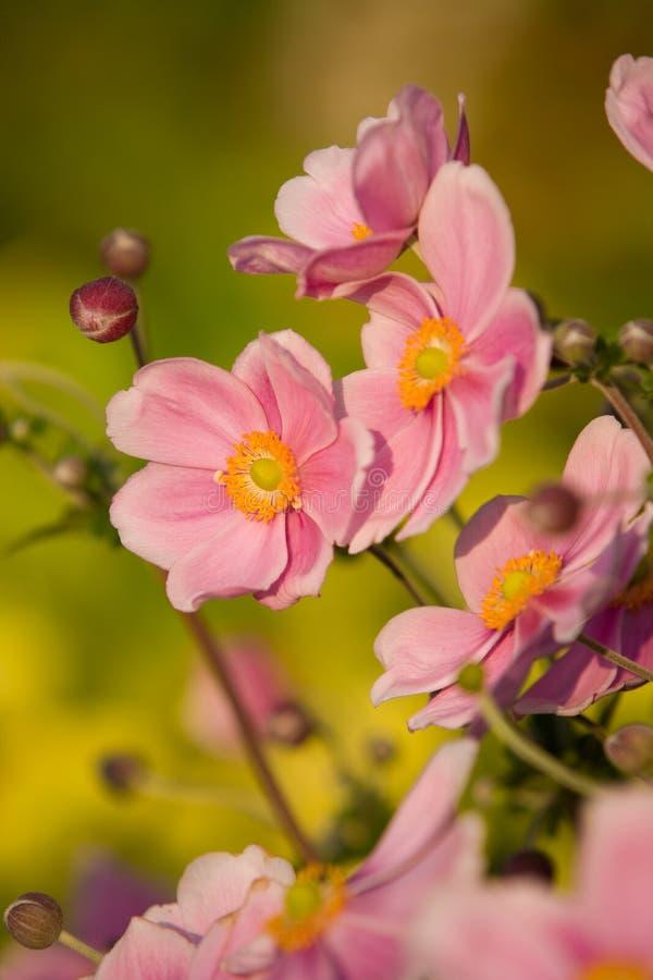 Anemone, encanto de setembro fotos de stock