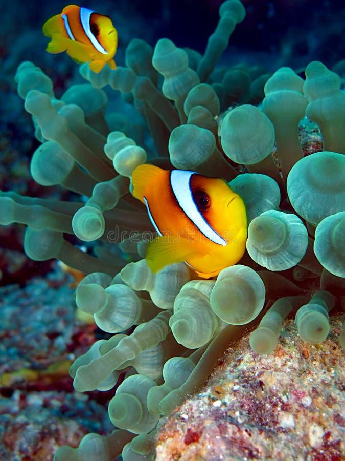 Anemone-Fische stockfotografie