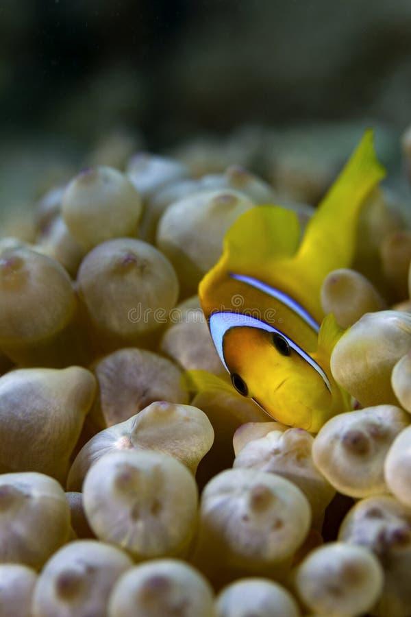 Anemone-Fische u. Anemone stockfotos