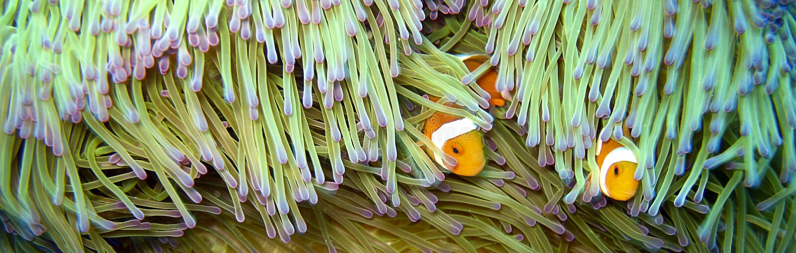 Anemone fish. (clown fish) hiding in an anemone royalty free stock image
