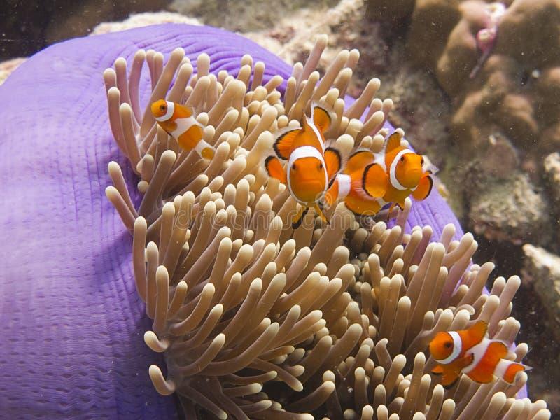 Anemone fish. Anemonefish (clownfish) in an anamone stock photography