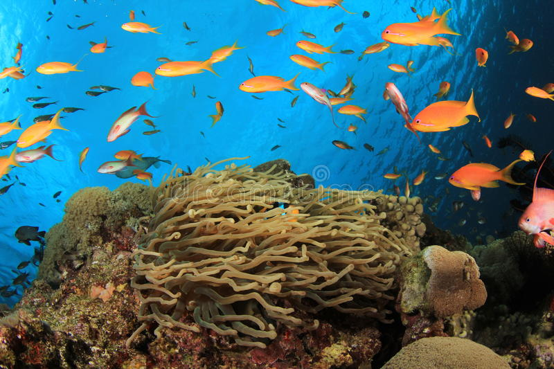 Anemone and Fish stock photo