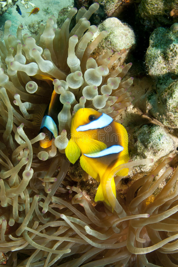 Anemone fish. Swim on a coral reef in the Red Sea royalty free stock images