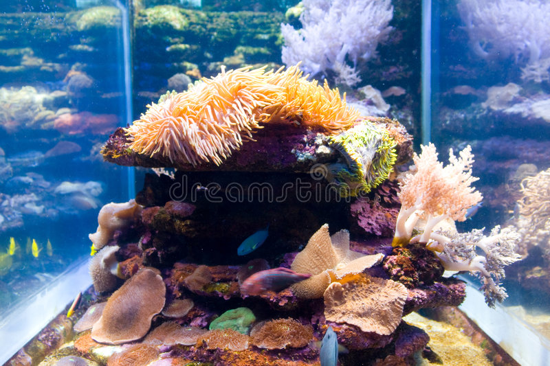 Anemone fish. Anemone and tropical fish in water tank royalty free stock photos
