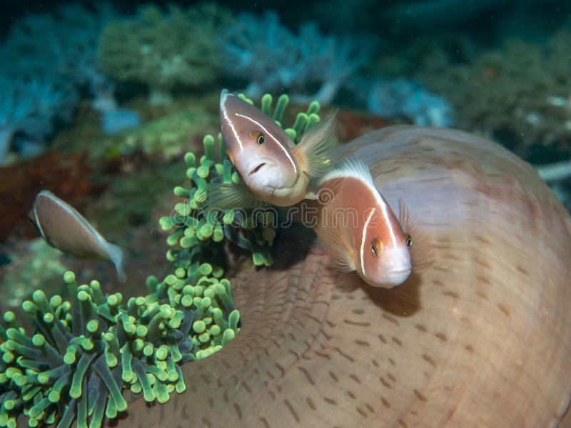 Anemone fish with Sea Anemone stock photography