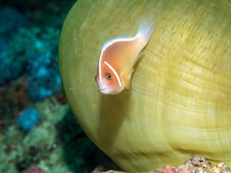Anemone fish with Sea Anemone stock photos