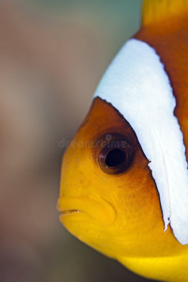 Anemone-Fish stock photos
