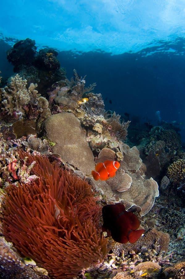Anemone fishes Indonesia Sulawesi royalty free stock photos