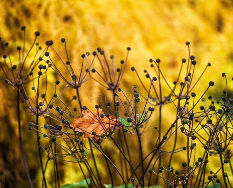 Anemone Flower photographie stock