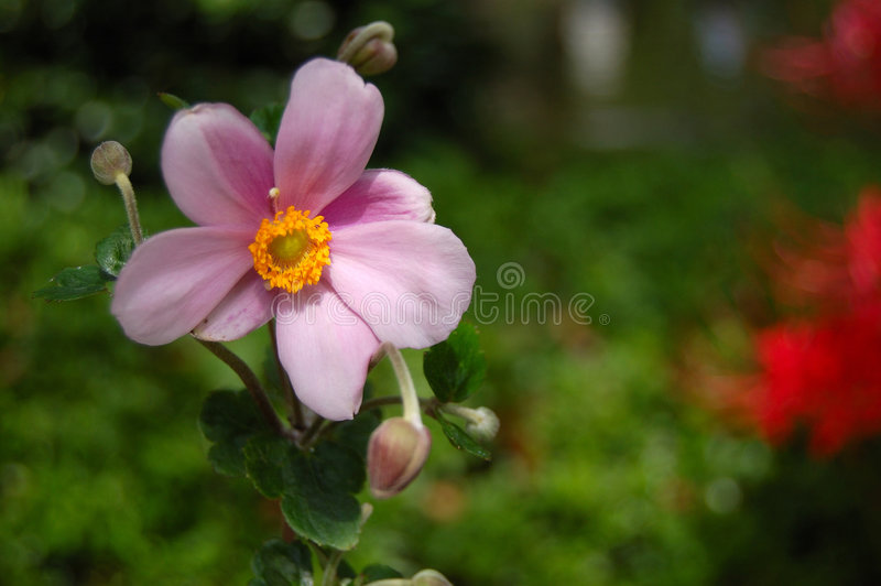 Anemone Flower. Photograph of a Single Japanese Anemone Flower with Blurred Background stock photo