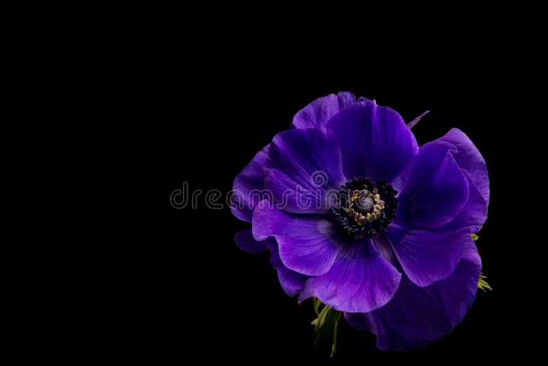 Anemone Flower, anémona púrpura vibrante aislada en fondo negro fotografía de archivo libre de regalías