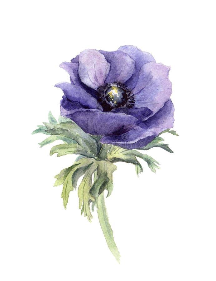 Anemone Flower Waterverf botanische illustratie stock illustratie