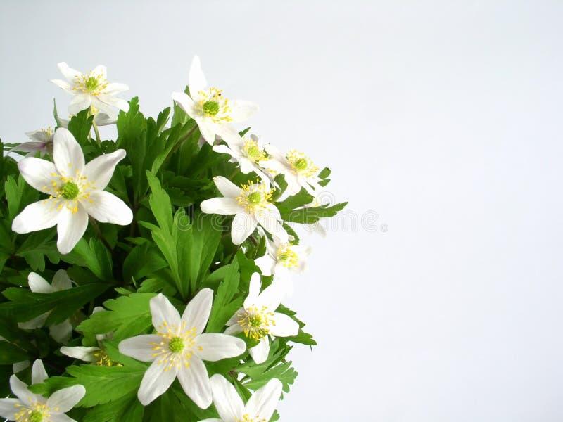 Anemone flowers stock photo