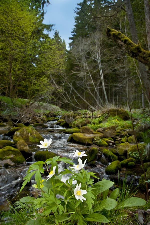 Anemone flowers in forest. Creek in a forest with anemones flowers royalty free stock photo