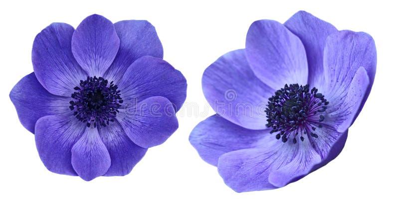 Anemone Flowers pourpre photographie stock libre de droits