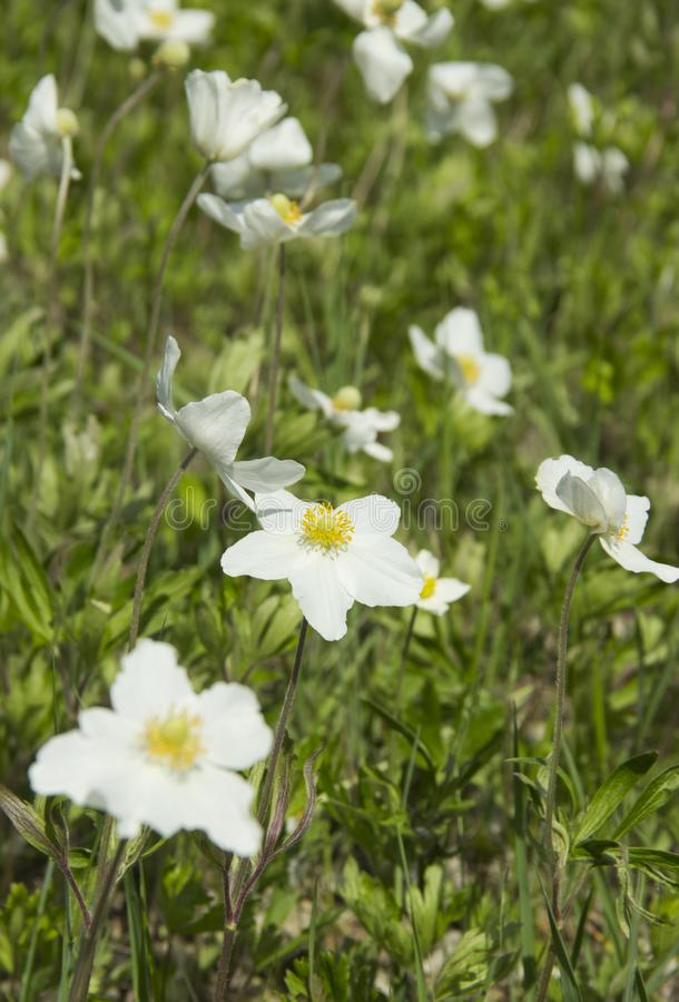 Anemone, a genus of perennial herbaceous flowering plants of the Ranunculaceae family royalty free stock photography