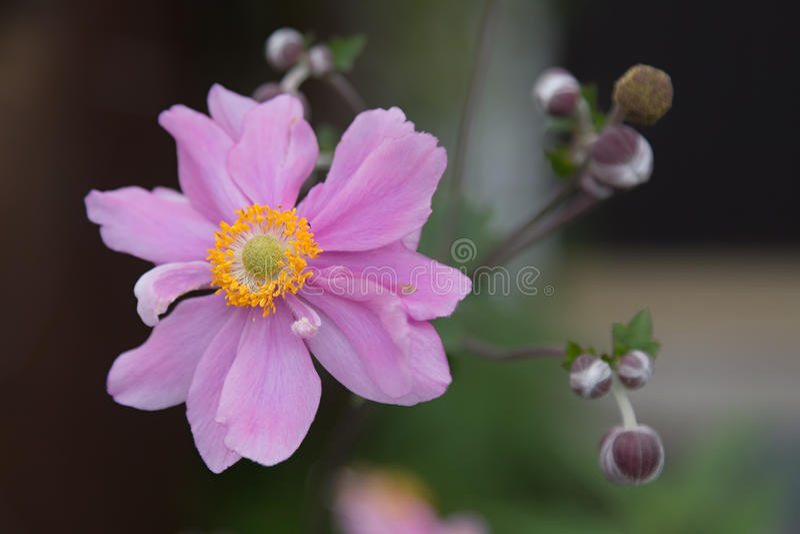 Anemone giapponese fotografia stock libera da diritti