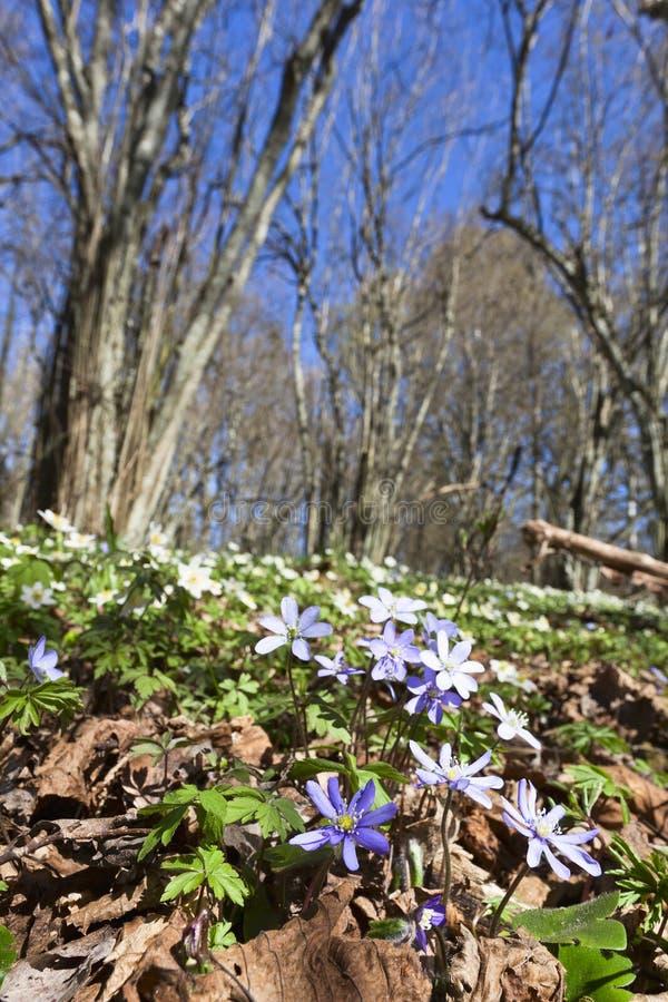 Anemone hepatica Blumen stockfotos