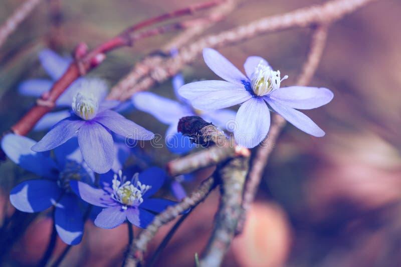 Anemone hepatica im Frühjahr stockbild