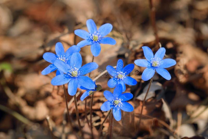 Anemone hepatica im Frühjahr stockfotos