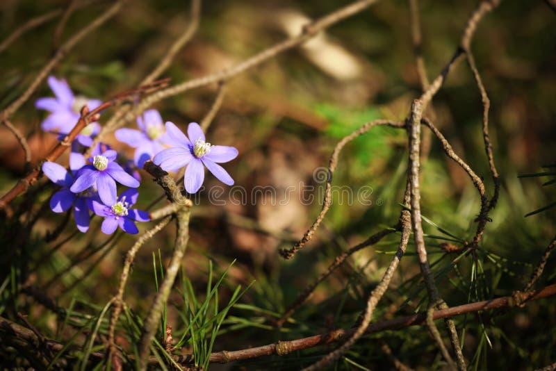Anemone hepatica im Frühjahr stockbilder