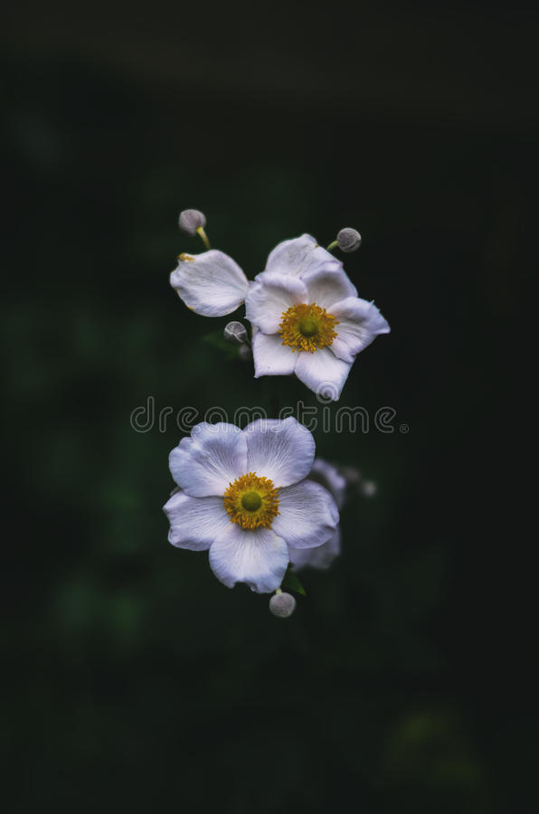 Anemone Hupehensis lizenzfreies stockbild