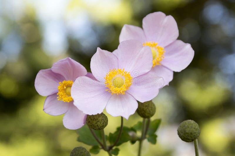 Anemone hupehensis japonica, Japanese anemone, thimbleweed windflower in bloom. Autumn blooming ornamental flower, three flowers stock images