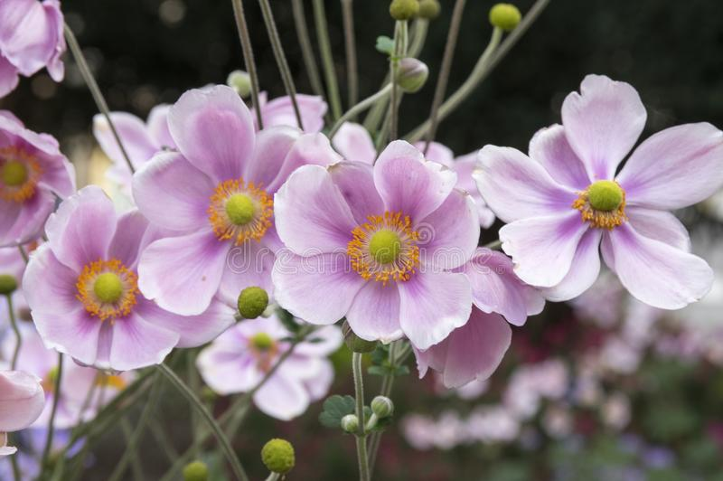 Anemone hupehensis japonica, Japanese anemone, thimbleweed windflower in bloom. Autumn blooming ornamental flower, group of flowers with light pink petals stock images